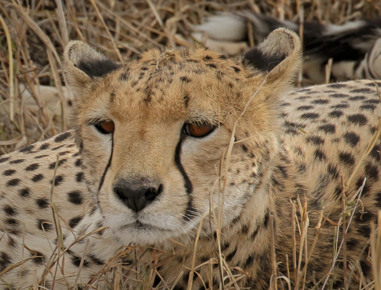 Serengeti Cheetah