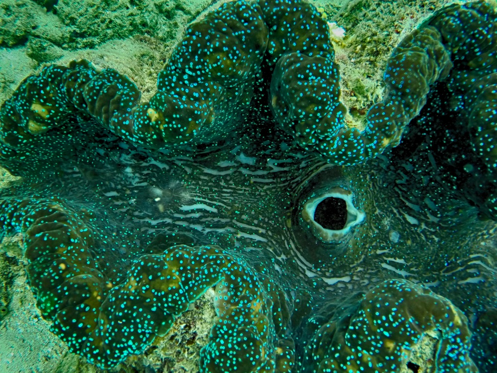 GBR Giant Clam
