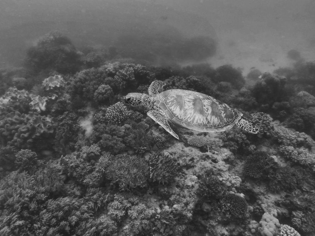 Barrier Reef Turtle