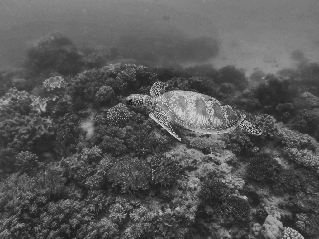 Barrier Reef Turtle