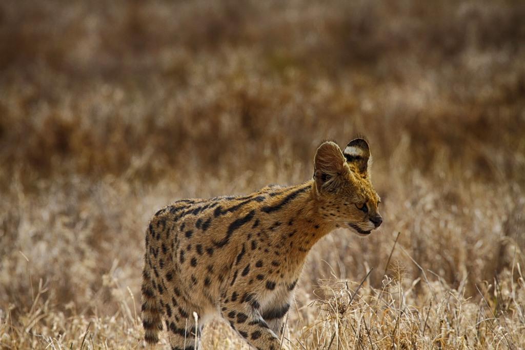 Serengeti Serval