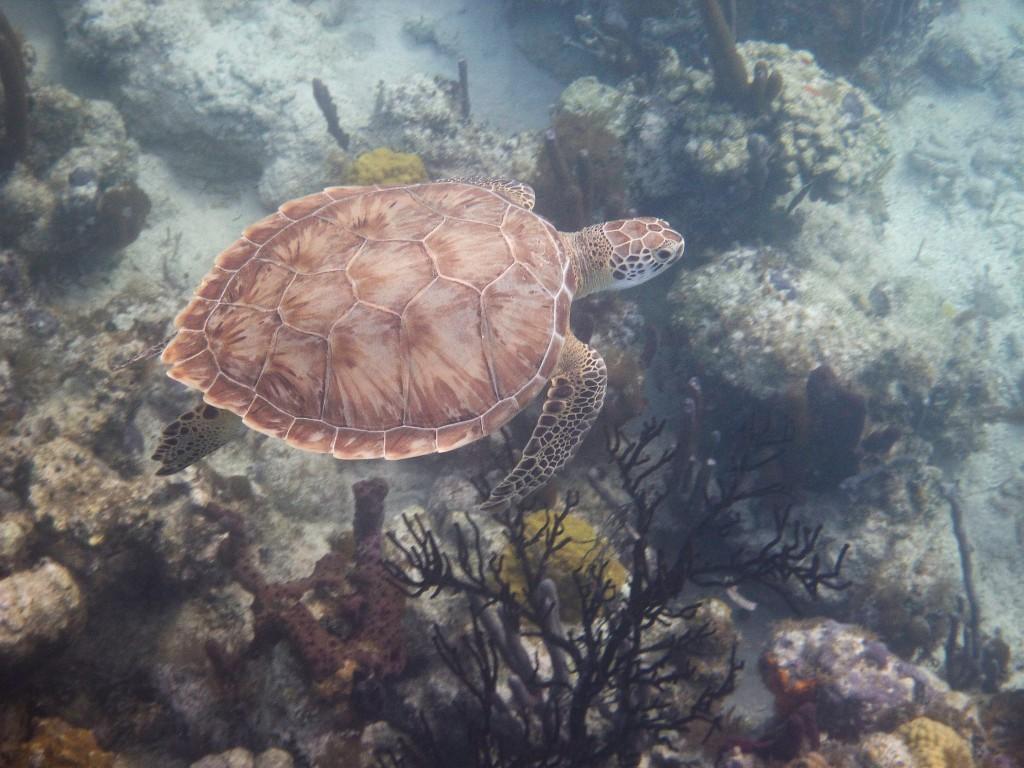 Coral Garden Turtle