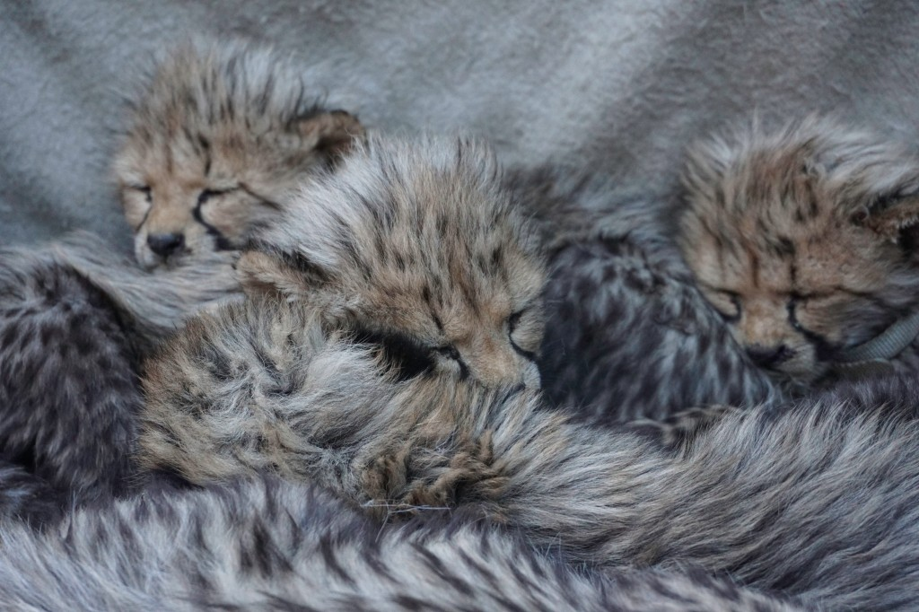 Sleepy Cheetah Cubs