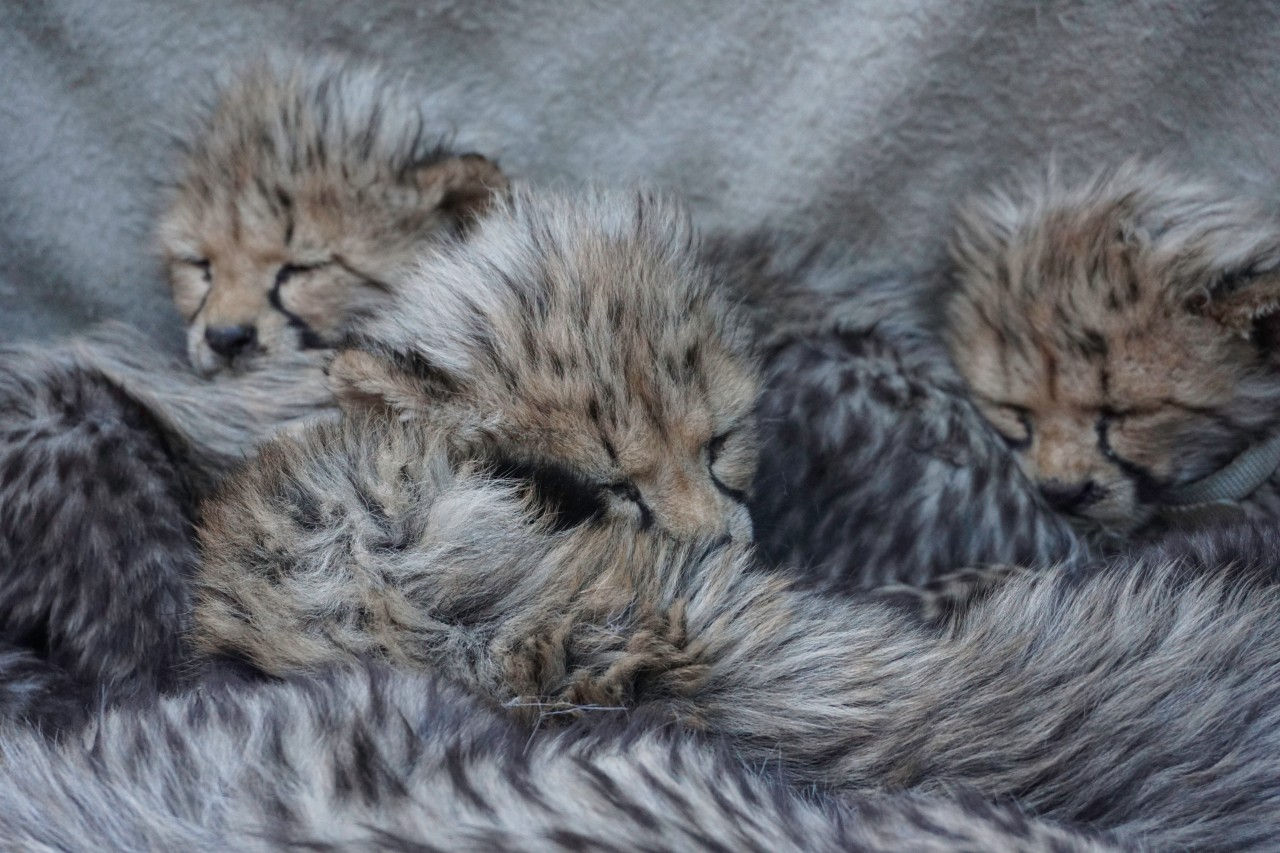 Sleepy Cheetahs