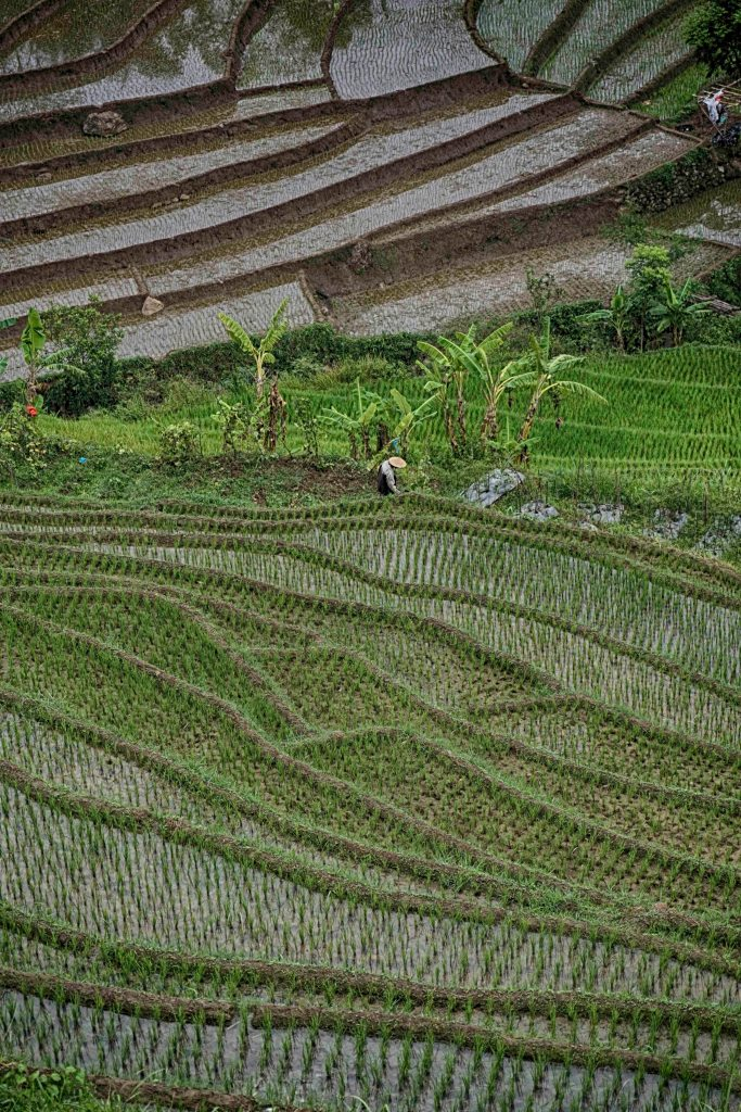 Rice Fields of Selogriyo