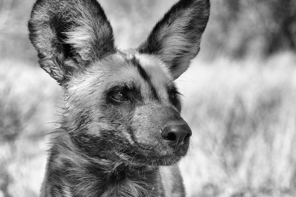 Namibia Wild Dog