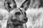 Namibia Wild Dog