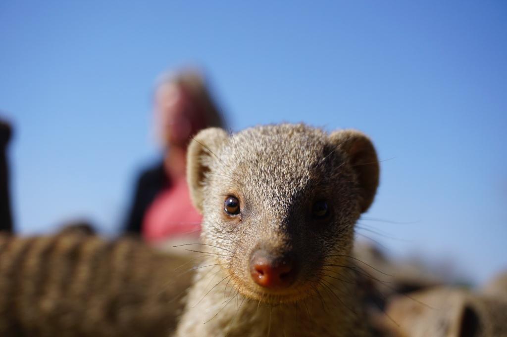 Namibian Banded Mongoose