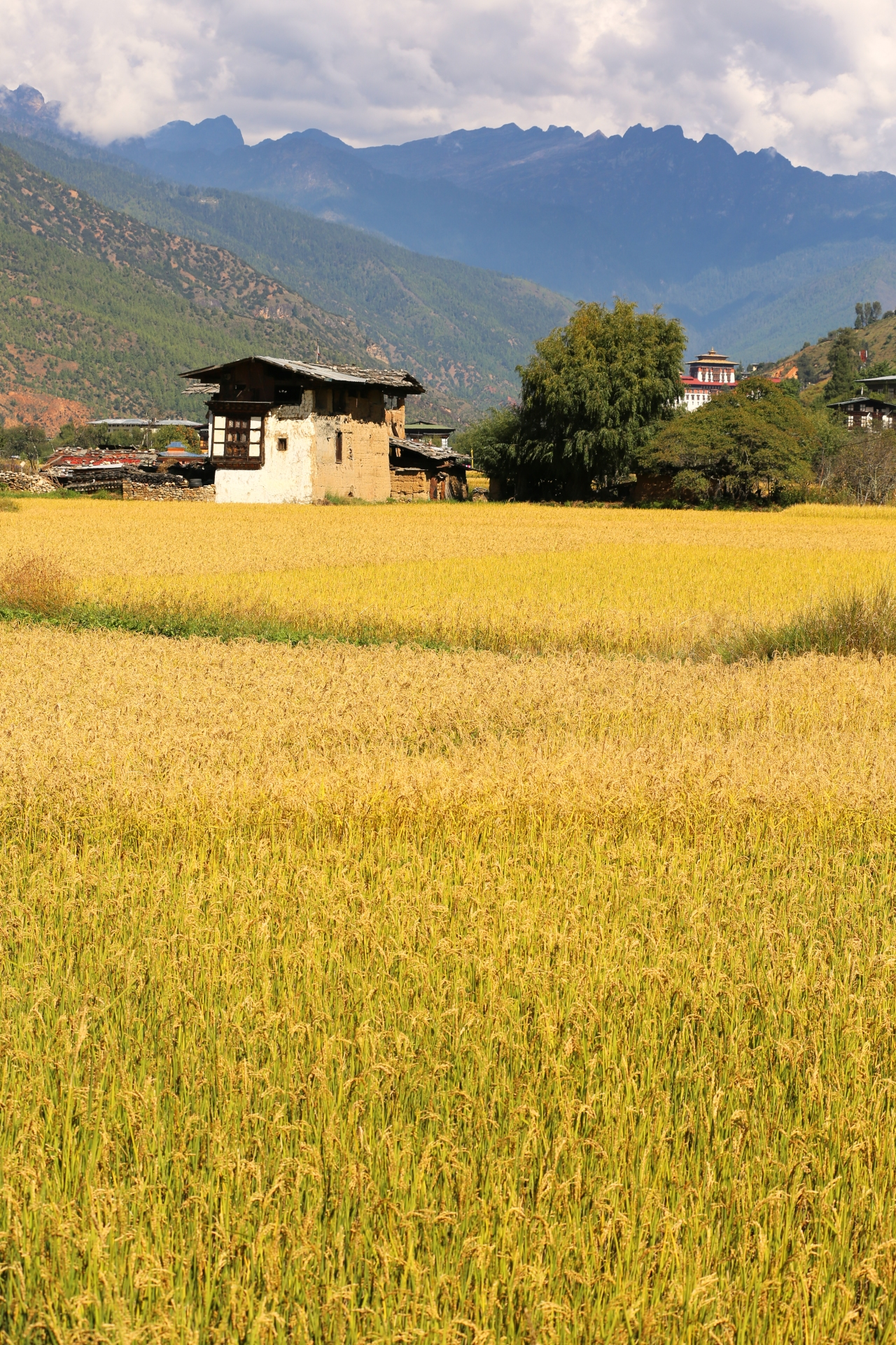 Rice Fields #Bhutan #asia #spiritual #monasteries