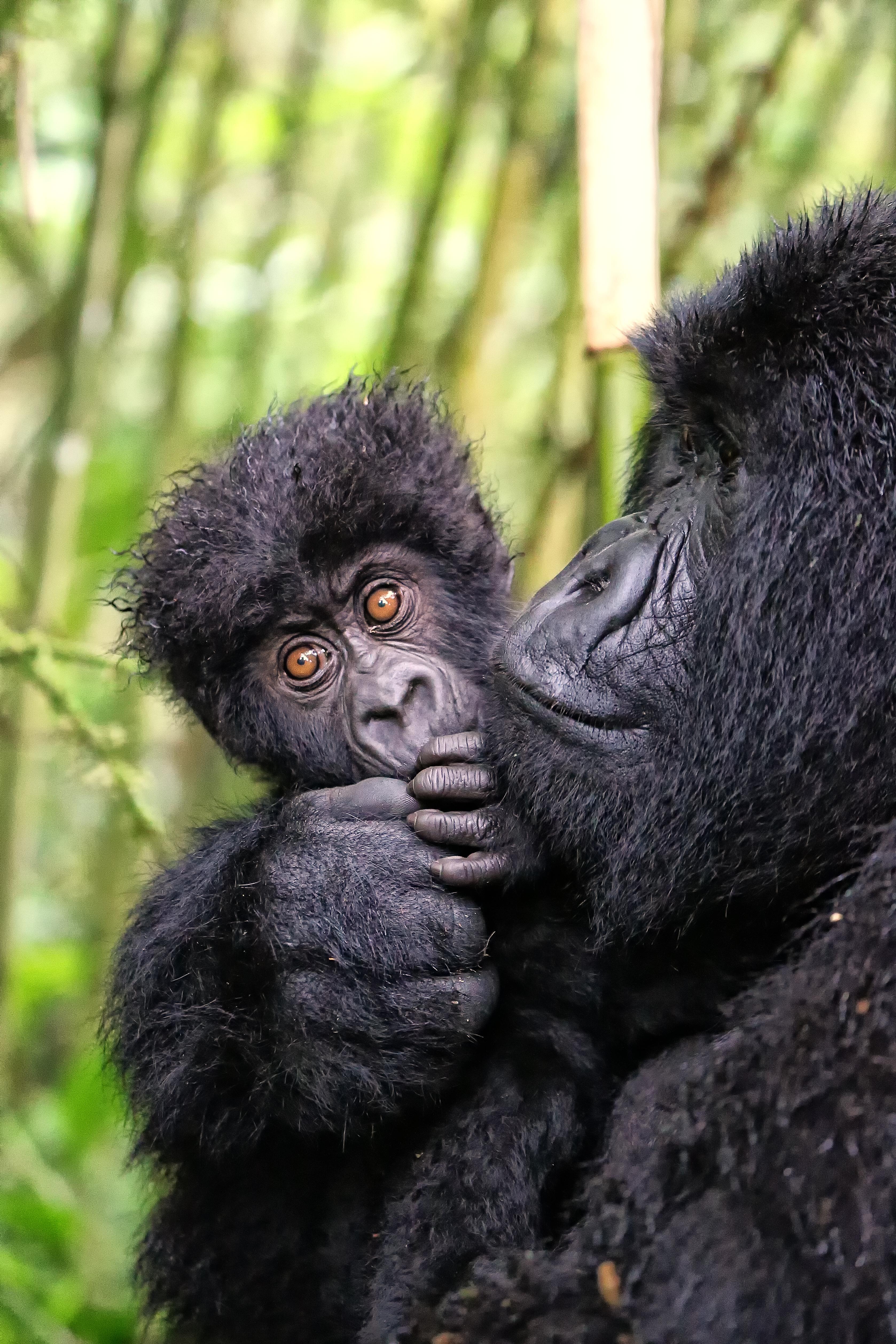 Proud momma Mountain Gorilla #africa #safari #rwanda