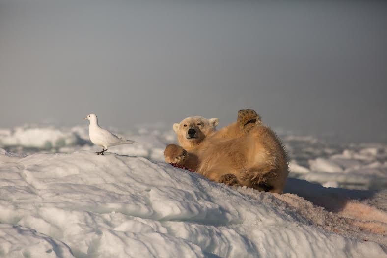 cinnamon polar bear