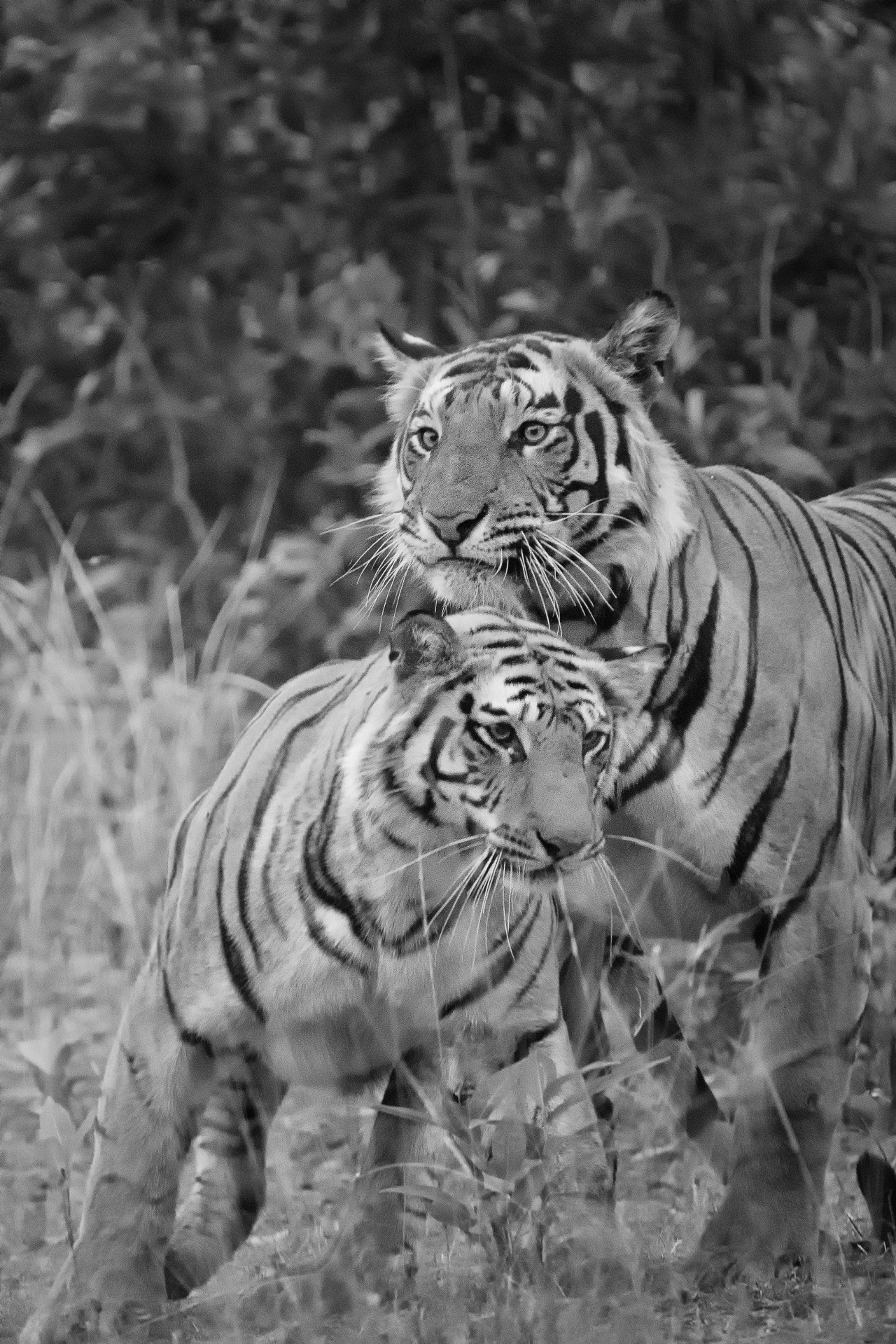 tigers_card5_587