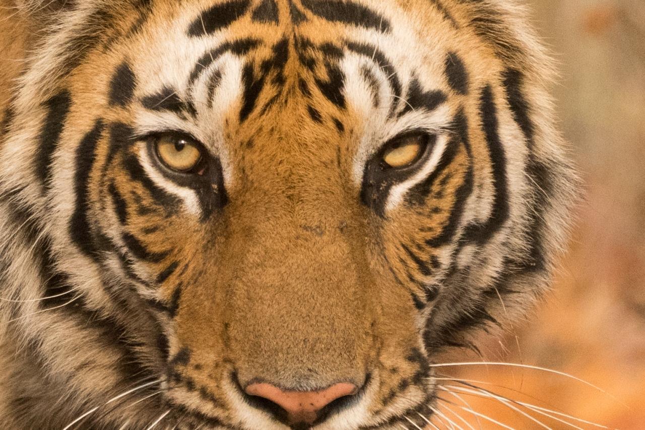 tigers_card6_676