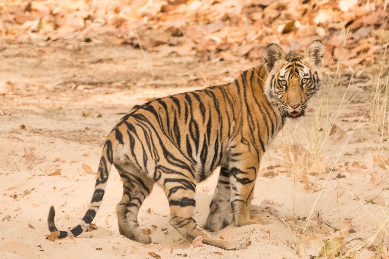 tigers_card7_748