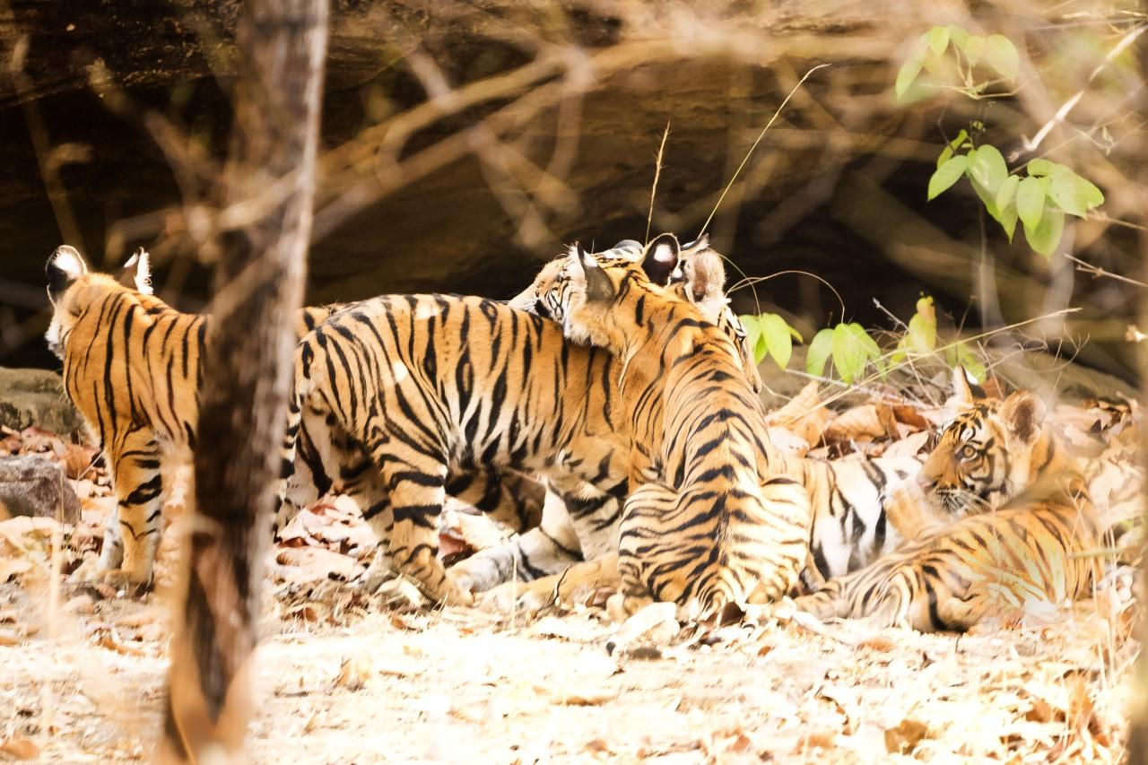 tigers_card8F_703-Edit